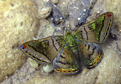 Caria mantinea (hippobosca) Tags: butterfly lepidoptera insect peru riodinidae cariamantinea