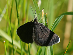 F36A4186 ZS DMap3p_DxO_full (solkatt64) Tags: butterfly insect nature macro