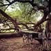 Fort Harrod: Ancient Osage-Orange Tree
