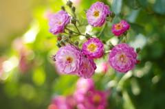 Memories of summer (Baubec Izzet) Tags: baubecizzet pentax bokeh flower summer roses nature flickrunitedaward