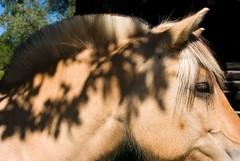 7388447_xxl (subjectivexperience) Tags: cavalry horse buck sawbuck sawhorse knight animal farm