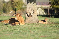 Cow and its Ttwins enjoying the sun (giuliastarko) Tags: limousin cow calf twins animal tiere vieh wiese vache veau animaux