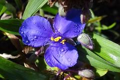 Dreimasterblume (Gartenzauber) Tags: garten sony natur makro blau tropfen regentropfen floralfantasy iloveyourphoto doublefantasy