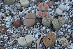 Living Stones (Stephen G Nelson) Tags: succulent plant botanicalgarden stoneplant tucson arizona lithos