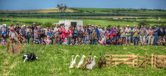 Sheep Dog Trials With Indian Running Ducks And Onlookers (superdove) Tags: wales unitedkingdom gb