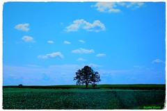 The Lone Tree (SCOTTS WORLD) Tags: adventure america sky shadow sunlight summer september 2018 tree light leaves landscape lonetree panasonic pov perspective fun field clouds country rural bluesky green blue flowers july vegetables corn maize frame farm