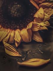 Lebensabend  ,  evening of life (Roger Armutat) Tags: sonnenblume natur tropfen blätter verwelkt leitz 60mm sony lebensabend afinity a7ii sonya7ii