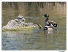 2017-05-15_Canards Col Vert-0021.jpg (Hacheme 26) Tags: colvert oiseaux natureetpaysages canard animaux saintesmariesdelamer provencealpescôtedazur france fr