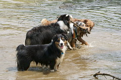 When mom has a camera, you hit pause on the game and SAY CHEESE (sturner404) Tags: echo maggiemalickwinecaves aussie australianshepherd aussiemeetup dog summer augues 2018 pond water play fun