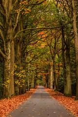 Doornenlaan in autumn (cstevens2) Tags: antwerpenprov autumn belgique belgium belgië doornenlaan europe fall fallcolours flanders flandre kapellen kapellenbos vlaanderen bomen herfst herfstkleuren laan lane najaar trees