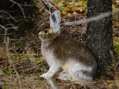 Snowshoe Hair (snooker2009) Tags: animal rabbit mammal nature wildlife alaska snowshoe hare