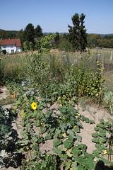 My garden (XXXI) (dididumm) Tags: summer garden flowers sunflowers vegetables herbs growing green pumpkin hokkaido zucchini marrow courgette kürbis grün wachsen kräuter gemüse sonnenblumen blumen sommer garten