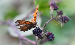 Comma at Brandon Marsh (robmcrorie) Tags: comma butterfly brandon marsh coventry warwickshire nature reserve wildlife nikon d850