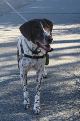 Finn (Webfoot5) Tags: dog dogs dogsonwalks dogzonwalkz germanshorthairpointer
