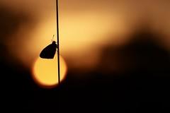 IMG_3839 - Azuré au lever du soleil (mp mapa) Tags: azuré argus papillon insecte animal nature prairie yvelines leverdusoleil lépidoptère