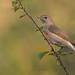 Garden warbler (LucaCandido) Tags:
