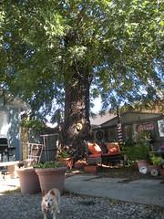 ♪ The falling leaves....♫ (candyruth) Tags: blackwalnut leaves chihuahua maggie petaluma backyard