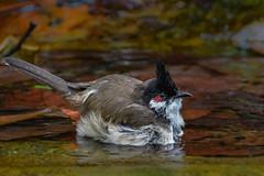 Red-whiskered bulbul in pond (Robert-Ang) Tags: bulbul nature wildlife redwhiskeredbulbul pycnonotusjocosus crestedbulbul singapore animalplanet