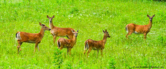 2015.06.03.9640 Family Time (Brunswick Forge) Tags: 2015 spring botetourtcounty nikond7100 virginia deer nature wildlife outdoor outdoors animal animals animalportraits commented favorited