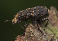 Scarce Fungus Weevil (Platyrhinus resinosus) (Chambers35th) Tags: weevil weevils fungus beetle beetles uk outdoors explore wildlife wildlifephotography animals animal animalphotography photography creatures critters bugs bug insects insect invertebrates invertebrate invert nikon sigma macro macrophotography macrodreams macros makro