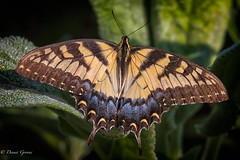 A Late Arrival (dngovoni) Tags: meadowlark virginia bug butterfly insect macro summer swallowtail wildlife