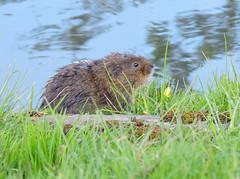 DSCN8483_edited_edited (dvennor) Tags: vole watervole canal mammal nature wildlife countryside cromford derbyshire springwatch