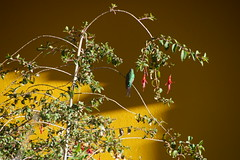7-176 Kolibrie vrouwtje (Gé Nielissen) Tags: 2018 peru heilige vallei kolibrie
