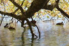 Ducks (katharinaburgstaller1) Tags: ducks enten water lake trees hide hobbyphotograph beginner canon eos austria upperaustria sun sunray salzkammergut forest autumn