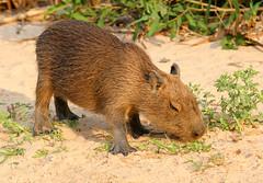 pantenalOct2018-4509 (beckstei) Tags: pantenal capyvara capybara onca jaguar landscape nature alligator cayman jacare porto jofre heron hawk river claro photo safari riosanlourenco riocanabu riocuiaba portojofre mattogrosso brasil