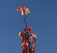 Lorsque l'automne s'en mèle - When autumn melds (p.franche Occupé - Buzzy) Tags: macro nature bokeh sony sonyalpha65 dxo photolab bruxelles brussel brussels belgium belgique belgïe europe pfranche pascalfranche schaerbeek schaarbeek parcjosaphat josaphatpark feuille arbre orange bleu ciel automne cerisier leaf tree blue sky autumn cherry