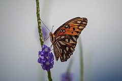 A Beautiful Fall Day (ACEZandEIGHTZ) Tags: agraulis vanillae gulf fritillary butterfly insect flying orange nikon d3200 white spots nature coth alittlebeauty coth5 sunrays5 naturethroughthelens ngc
