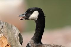 Bernache de Hutchins (Passion Animaux & Photos) Tags: bernache hutchins cackling goose branta hutchinsii parc animalier saintecroix france