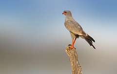 Pale Chanting Goshawk (brian_stoddart) Tags: wildlife birds lookout post raptor goshawk nature colours