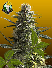 Jack-Herer (Watcher1999) Tags: jack herer autoflowering seeds cannabis auto flower california medical marijuana jamaica growing strain bob marley plant weed weeds smoking ganja reggae legalize it