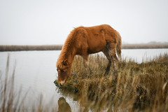 Reflection by Julie Cavallio (Maryland DNR) Tags: 2018 photocontest mammal wildlife winter horses ponies assateague