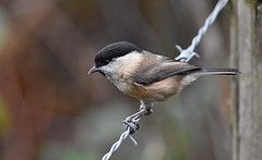 Willow tit(Poecile montanus) (victorhobson55) Tags: barb wire dull black cap willow tit poecilemontanus nikon lens 300 prime stunning beautiful magnificent d7200 wildlife photography fairburnings westyorkshire willowtit