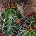 True Claret Cup or Kingcup Hedgehog Cactus