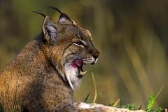 Luchs (Michael Döring) Tags: gelsenkirchen bismarck zoomerlebniswelt zoo luchs lynx tc20eiii afs600mm40e d850 michaeldöring