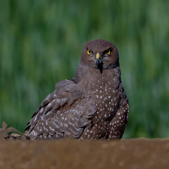 Spotted Harrier (Jeff_Warner) Tags: birds birdsofpray olyem1mkii oly300mmf4 closeup nature spottedharrier