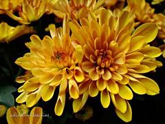 Crisantemo (adioslunitaadios) Tags: crisantemo pétalos pétalosnaranja fujifilm macro plantasyflores