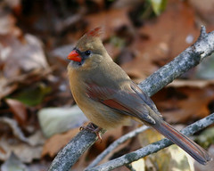 Northern-Cardinal (egdc211) Tags: northerncardinal connecticutbird connecticutbirds canon connecticutwildlife connecticutbirding connecticutbirdpix cardinal birdwatcher bird backyardbirding birds naturewatcher newenglandbird nature newenglandbirds newenglandwildlife newenglandwildlifephotography