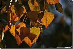 Ha llegado el Otoño (Antonio Zamora) Tags: fall antoniozamora arbol árbol arboles amarillo árboles autumn hojas hoja españa eos7d eos spain macro otoño orange naranja naturaleza natura nature canon red rojo