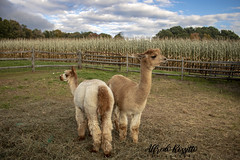 alpaca1 (alfredo.rossitto) Tags: rebel t6i canon clouds sky petsi pet animal animals zoo alpaca farm