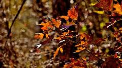 Autumnal Bokeh (Bob's Digital Eye) Tags: bobsdigitaleye autumnleaves autumn canonefs55250mmf456isstm t3i bokeh depthoffield october2018 back30