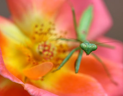 Overview (dianne_stankiewicz) Tags: insect nature wildlife overview mantis prayingmantis