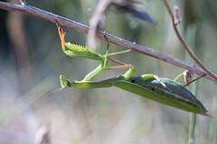 **Passive Attack** Mantis religiosa ♀ (AquaNat-photo) Tags: religiosa mante insect france fr mantis mantereligieuse mantidae latranchesurmer littoral dune