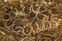 Eastern Diamondback (Crotalus adamanteus) (Ian Deery) Tags: eastern diamondback rattlesnake snake crotalus adamanteus herp herping venom venomous ian deery sony closeup