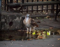 Christo on a hot summer evening (Goggla) Tags: christo nyc new york east village tompkins square park urban wildlife bird raptor red tail hawk adult male summer puddle