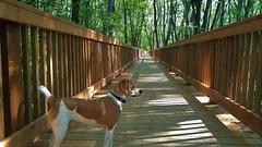 Chemin de lumière (Amiela40) Tags: passerelle forêt soleil rayons chaleur randonnée chien