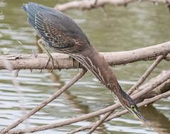 Eye on the prize (rdroniuk) Tags: birds waterbirds shorebirds heron greenheron butoridesvirescens héron héronvert oiseaux oiseauxdeau
